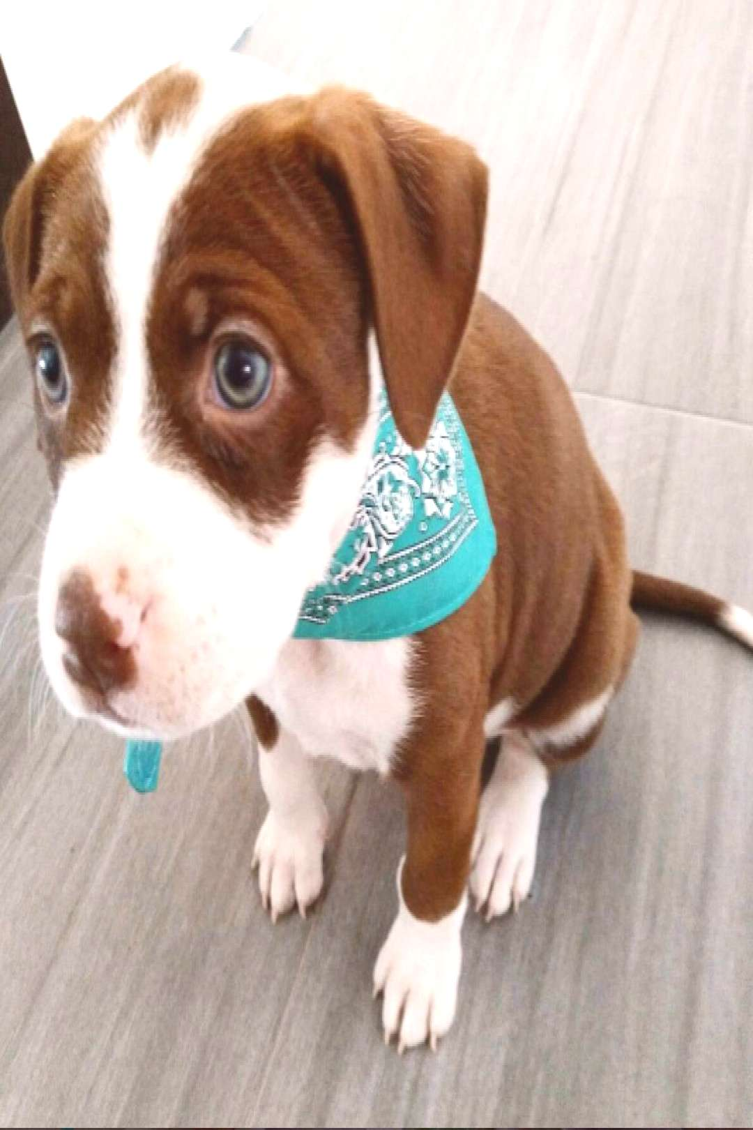 10+ Reasons Why Pit Bull Puppies Are The Most Dangerous Creatures On Earth