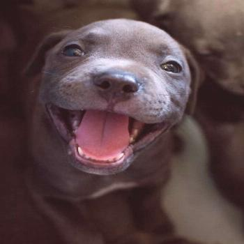 19 Reasons Why Pit Bull Puppies Are The Most Dangerous Creatures On Earth