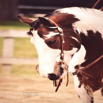 American Paint Horse western quarter paint horse paint pinto horse Gypsy Vanner Indian pony solid t